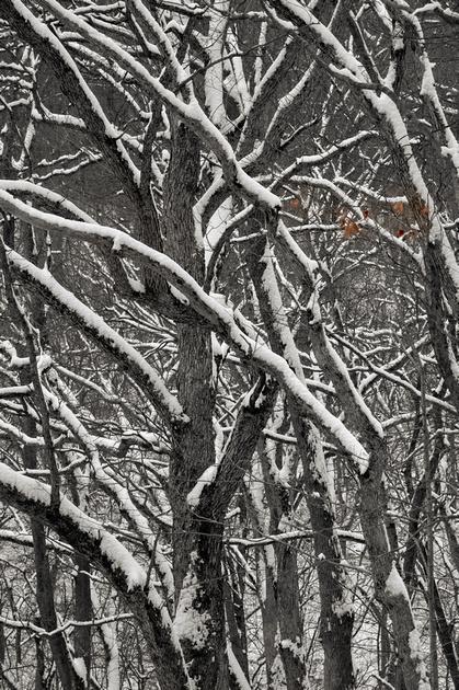 Beech Leaves in Winter
